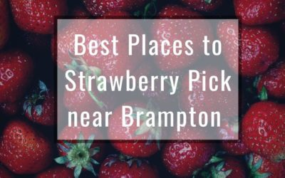 The Best Farms for Strawberry Picking near Brampton and Mississauga