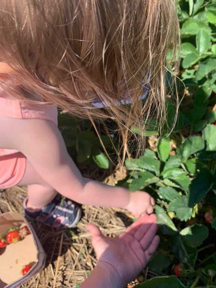 Best Places to Strawberry Pick Near Brampton